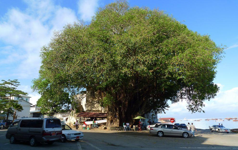 The Big Tree ve Stone Town