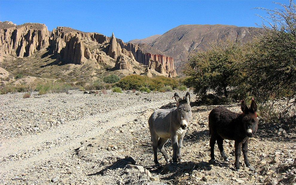 Altiplano donkeys
